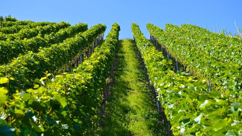 domaine viticole, vignoble, Bouchard Père et Fils, production vin
